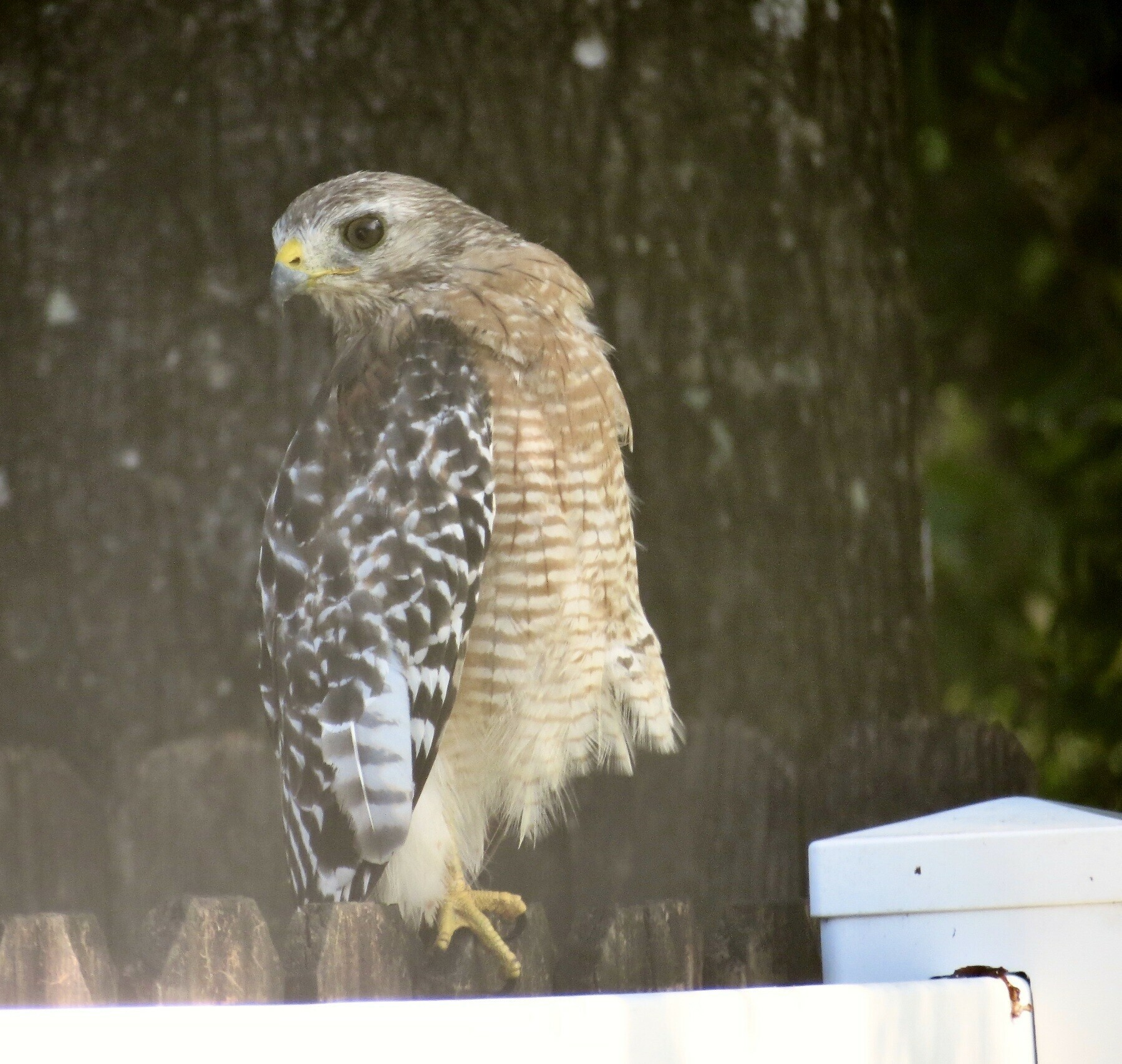 A red-shouldered hawk sits on a wood and vinyl fence surveying a backyard.