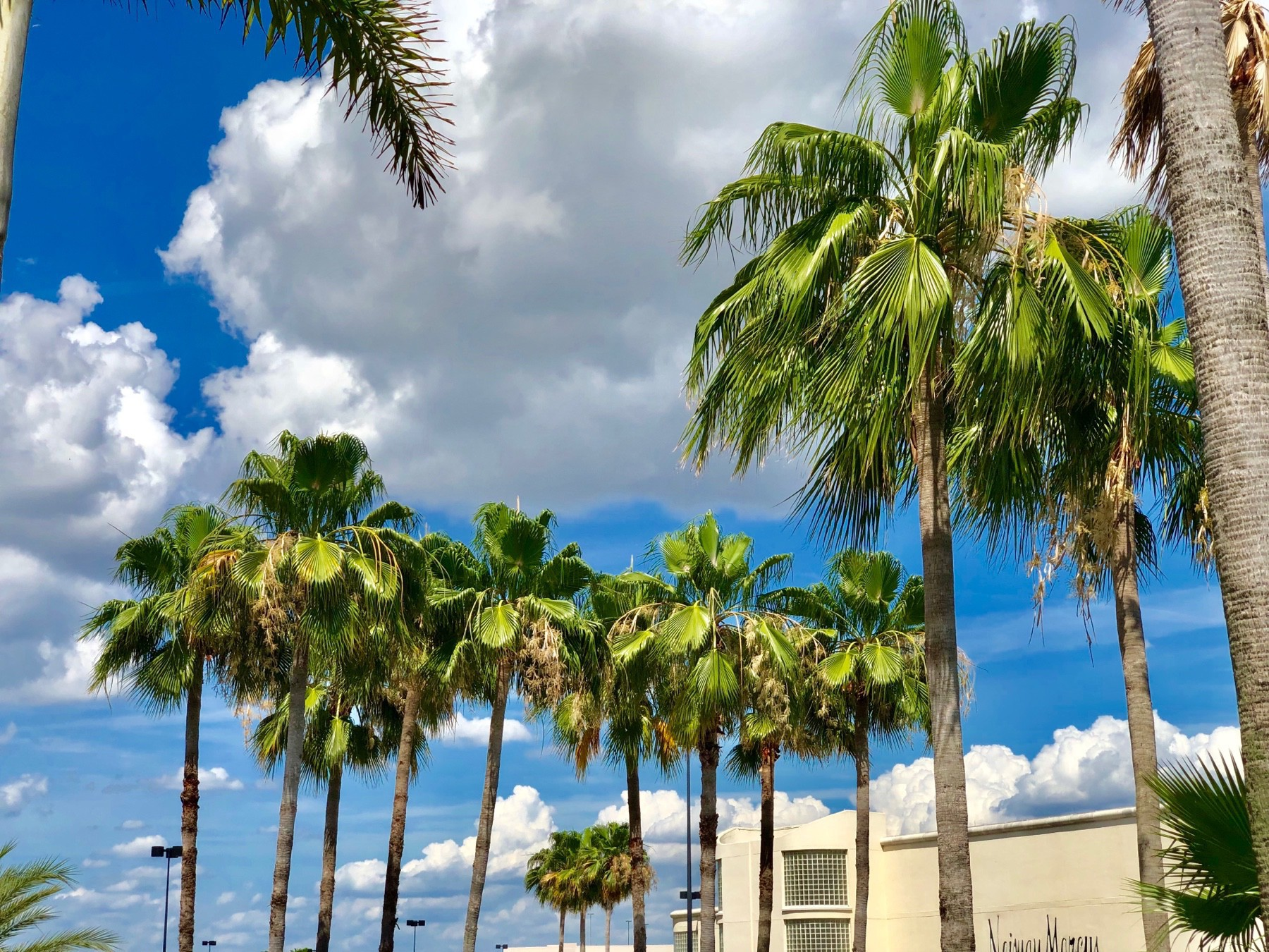 A group of palm trees set against a brilliant blue sky dotted with puffy white clouds. There's a building in the background as well.
